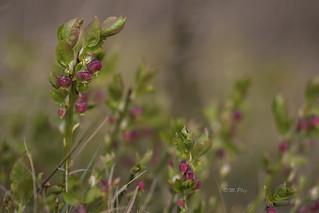 Heidelbeeren in der Blüte