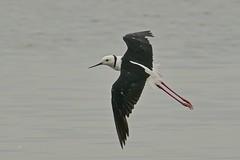 Black-winged Stilt (Rodger1943) Tags: stilts blackwingedstilt australianbirds waterbirds waders birdsinflight faunainmotion fz1000