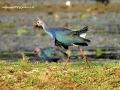 DSC03541 Grey-headed Swamphen (Porphyrio poliocephalus) (vlupadya) Tags: greatnature animal aves fauna indianbirds grey headed swamohen porphyrio kundapura karnataka