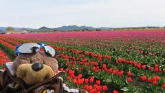Teddy Tedaloo at the Skagit Valley Tulip Festival (Mitzi Szereto) Tags: tulips teddytedaloo celebrities authors tulipfestival skagitvalleytulipfestival flowers nature farms pacificnorthwest washingtonstate skagitvalley roozengaarde outdoors floral