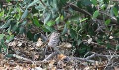 04-16-2017 Hermit Thrush Laguna Beach CA 2L5A6956 (jacksnipe1990) Tags: hermitthrush hermit thrush