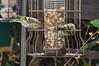 a pair of siskins (112/365) (werewegian) Tags: siskin bird feeder spring markings gourock werewegian apr17 365the2017edition 3652017 day112 22apr17