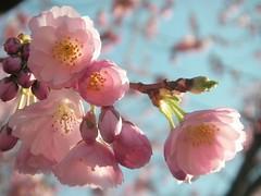 Soft blossoms (libra1054) Tags: cherryblossoms fleursdecerisier fioridiciliegio floresdecereza floresdecerejeira blossoms blüten flores fiori fleurs flora pink soft closeup outdoor