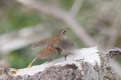 Wren (troglodytes troglodytes) song display, Kirkmichael (linweseregon) Tags: wren troglodytes song display kirkmichael ayrshire birds scotland
