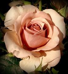 ......l'Amore (dona(bluesea)) Tags: amore love rosa rose rosarosa pinkrose