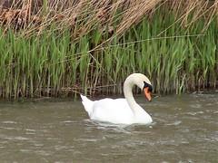 IMG_1521 (jjs-51) Tags: zwanen broekpolder swans