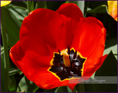 Red Tulip (sh10453) Tags: oakpark michigan usa tulips flowers red canon 5dseries eos llenses