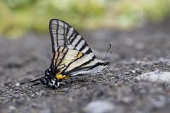 黑尾劍鳳蝶/木生鳳蝶 Pazala mullah chungianus (Murayama, 1961) (Sam's Photography Life) Tags: 黑尾劍鳳蝶 木生鳳蝶 劍鳳蝶 鳳蝶 木生 蝴蝶 昆蟲 生態 自然 百微 canon 1dx 100mm marco mraco insect butterfly
