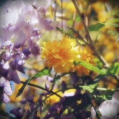 S'inonder de douceur (nathaliedunaigre) Tags: fleurs flowers pastel softness douceur carré square bokeh effetbokeh macro détails details