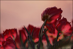 Hollandse Tulpen (maartenappel) Tags: tulpen holland lente kleuren bollen canon nederland licht