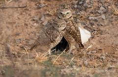 Love birds (Maja's Photography) Tags: birds burrowingowl owls owlsbirds mates pair portrait usa raptors predators
