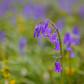 A visitor @ a bluebell flower