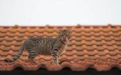 kittens (44) (Vlado Ferenčić) Tags: cats catsdogs kitty kittens animals animalplanet roof zagorje croatia hrvatskozagorje hrvatska vladoferencic vladimirferencic nikond600 sigma15028macro