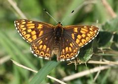 IMG_9497 JPEG (Miles Attenborough) Tags: duke burgundy incombe hole