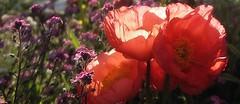 La folle alliance (nathaliedunaigre) Tags: fleurs flowers poppies pavots myosotis couleurs sunny ensoleillé macro details détails parc park lumière light effetbokeh bokeh