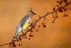 Yes, the whole branch to myself! (LastBestPlace) Tags: cedarwaxwing