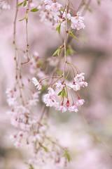 枝垂れる (mizuk@) Tags: japan mie flower cherryblossom sakura spring park canon 三重 花 公園 桜
