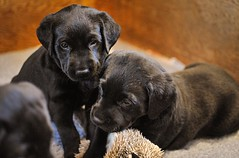 170428-Bluebellwoodsandpuppies (112)-1ps (Mphotograph) Tags: puppies labrador labradorlitter puppylitter photo nikon spring