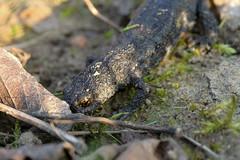 Salamandre - Triton (benoit871) Tags: newt couchédesoleil estaires lys salamandra salamandre sunrise triton