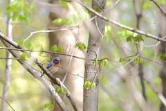Eastern Bluebird (astro/nature guy) Tags: illinoisbird bird urbanabird buseywoodsbird buseywoods bluebird easternbluebird