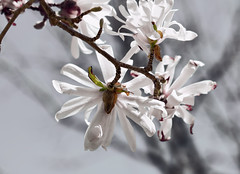"Magnolia (*Millie* ""Catching up with you soon!"") Tags: magnolia spring flower quote nature outdoors tree white inspiredbylove closeup bokeh"
