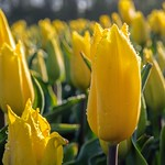 Gele tulp thumbnail