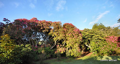 Rhododendron Panorama. (mcgrath.dominic) Tags: rhododendrons botanicgardens kilmacurragh cowicklow
