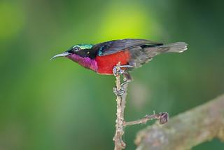 Purple-throated Sunbird