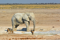 at nebrownii ~a (andré & riette) Tags: andrériette pictureswild wildlife game elephant olifant loxodontaafricana jackal jakkals canismesomelas rooijakkals nebrownii etosha etoshanationalpark namibia