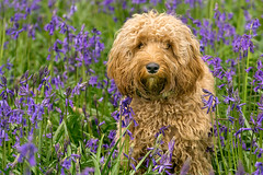 Ben's Dog in the Bluebells (jactoll) Tags: woottonwawen warwickshire bluebells flowers dog sony a6000 zeiss 70200mmf4 jactoll