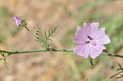 Malva Sylvestris (C.Frayle) Tags: flores flowers floración nature nikon naturaleza natura malva malvasylvestris macrofotografía flor macro