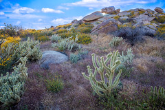 Springtime in the Desert (SoCal Mark) Tags: borrego anza springs ca california desert san diego 2017 landscape nature cactus canyon camp camping out door outdoor scenic rough bad lands badlands colors super bloom superbloom spring seasons color