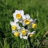 CDN3235 (Fransang) Tags: daffodil daffodils narcis narcissen