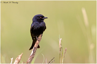 The Red-eyed Drongo!