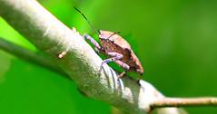 Bug (Reid2008) Tags: bug shieldbug stinkbug
