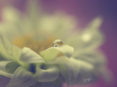 Hushed (Lori Bote) Tags: petals soft softness macro softimage droplet refraction softtones hue flower floral floralphotography