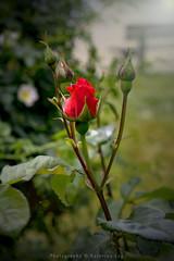 rose (@Katerina Log) Tags: rose flower florafauna foliage outdoor plant katerinalog sonyilce6000 fe55mmf18za nature natura bokeh depthoffield blossom