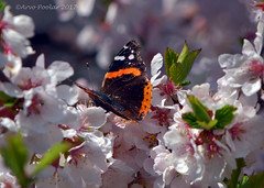 Red Admiral in the cherry blossoms  4 (Arvo Poolar) Tags: redadmiralbutterfly scarborough ontario outdoors cherryblossoms nature natural naturallight nikond7000 naturephotography butterfly arvopoolar