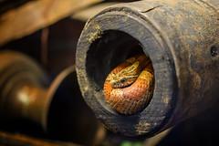 Kornnatter (Pantherophis guttatus) (tom22_allgaeu) Tags: kornnatter snake reptilen schlange reptile ungiftig nontoxic nikon nikkor 40mm lightroom topaz nikfilter d7200