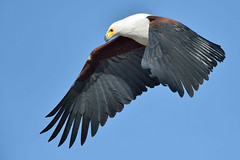 Icon (Duncan Blackburn) Tags: bird nature nikon wildlife ngc botswana chobe fisheagle kasane coth avianexcellence naturesharmony vigilantphotographersunite vpu2