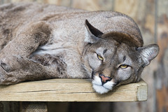 Tired puma looking at me (Tambako the Jaguar) Tags: wild female cat zoo wooden big nikon watching resting puma lying relaxed cougar mountainlion frauenfeld d4 catamount plttli platformobserving