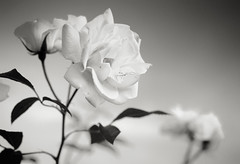 white flower (mezameyo) Tags: blackandwhite white flower monochrome bokeh grain