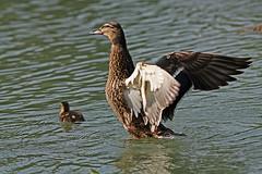 IMG_8845 Femelle colvert qui manifeste sa joie (kadely) Tags: bird eos aves vogel 200mm 450d canonfrance