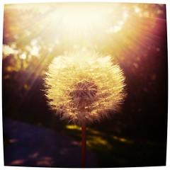 Sunlight (ferari15890) Tags: light sun sunlight plant flower love nature beautiful outside bright blinding glowing shining wishingflower uploaded:by=flickrmobile flickriosapp:filter=iguana iguanafilter