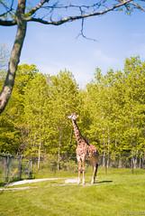 Giraffe Look (Sacha 2D) Tags: leica toronto ontario canada animals zoo panda pandas torontozoo leicam8 leicaelmarm50mmf28 lensblr photographersontumblr