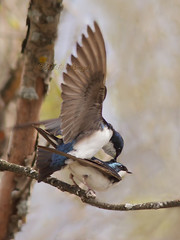 Hirondelle bicolore - Tree swallow (mitch099) Tags: tree bird nature beauty spring quebec beaut swallow printemps oiseau hirondelle lanaudiere bicolore micheleamyot mitch099