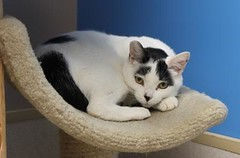 Domino(2) (Mary022378) Tags: cats kittens naperville adopt adoptpetshelter