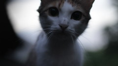 curious cat #1 (Alice Luk.) Tags: light cute closeup cat canon 50mm eyes dof bokeh smooth kitty kawaii curious 169 kot kisa curiousity 600d canon600d