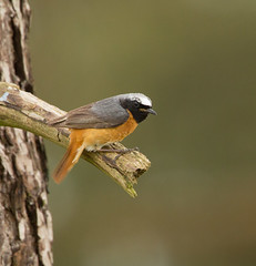 Redstart ( Phoenicurus phoenicurus ) (steven whitehead) Tags: red wild bird nature start canon bug feeding wildlife redstart wildbird
