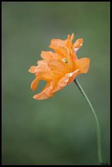 L'orange (sand_bcn) Tags: italy orange flower fleur canon garden eos reflex flora italia alpina flor piemonte ita maggiore itali botanicalgarden naranja italie lagomaggiore flore jardn jardnbotnico jardinbotanique stresa 500d canon500d lacmajeur canon55250mm okpano montarrone